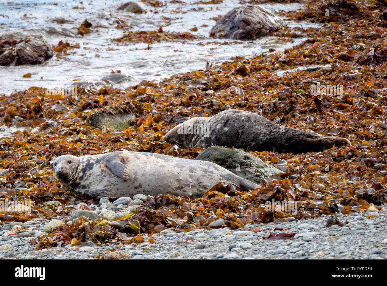 Grey seal cow Halichoerus grypus looking at the camera while a bull dozes on kelp strewn beach on Lundy Island off the Atlantic coast of north Devon Stock Photo