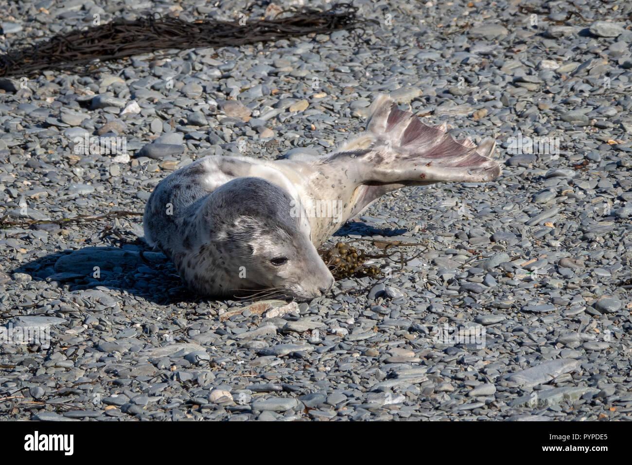Grey seal pup Halichoerus grypus on a shingle beach on Lundy Island off the Atlantic coast of north Devon Stock Photo