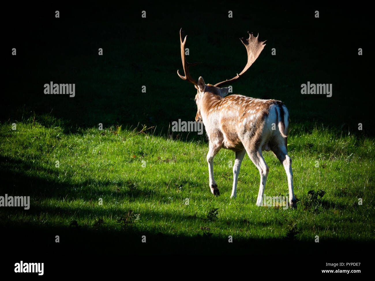 Fallow deer stag Dama dama in late summer sporting a fine set of spatulate antlers in preparation for the autumn rut - Ashton Court Bristol UK - Stock Image
