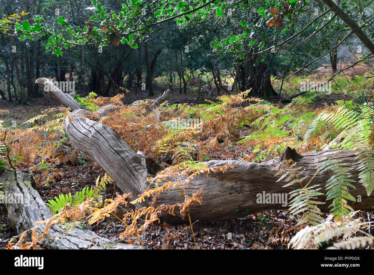 woodland scene of ancient oaks and beech trees ,living and fallen in the new forest Stock Photo
