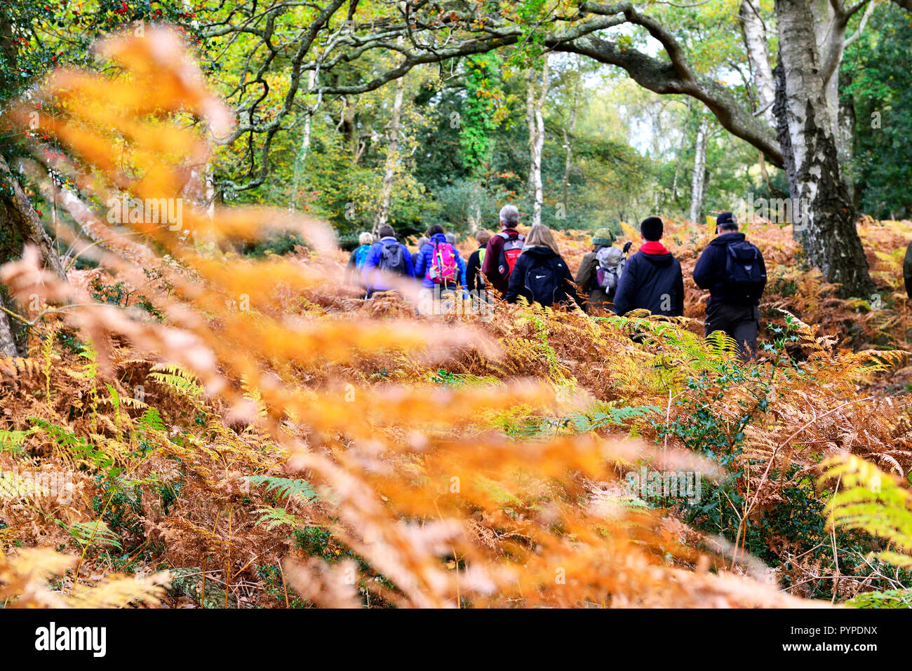Walking group of  ramblers  in  the forest and bracken  during the New Forest National Park walking festival Stock Photo