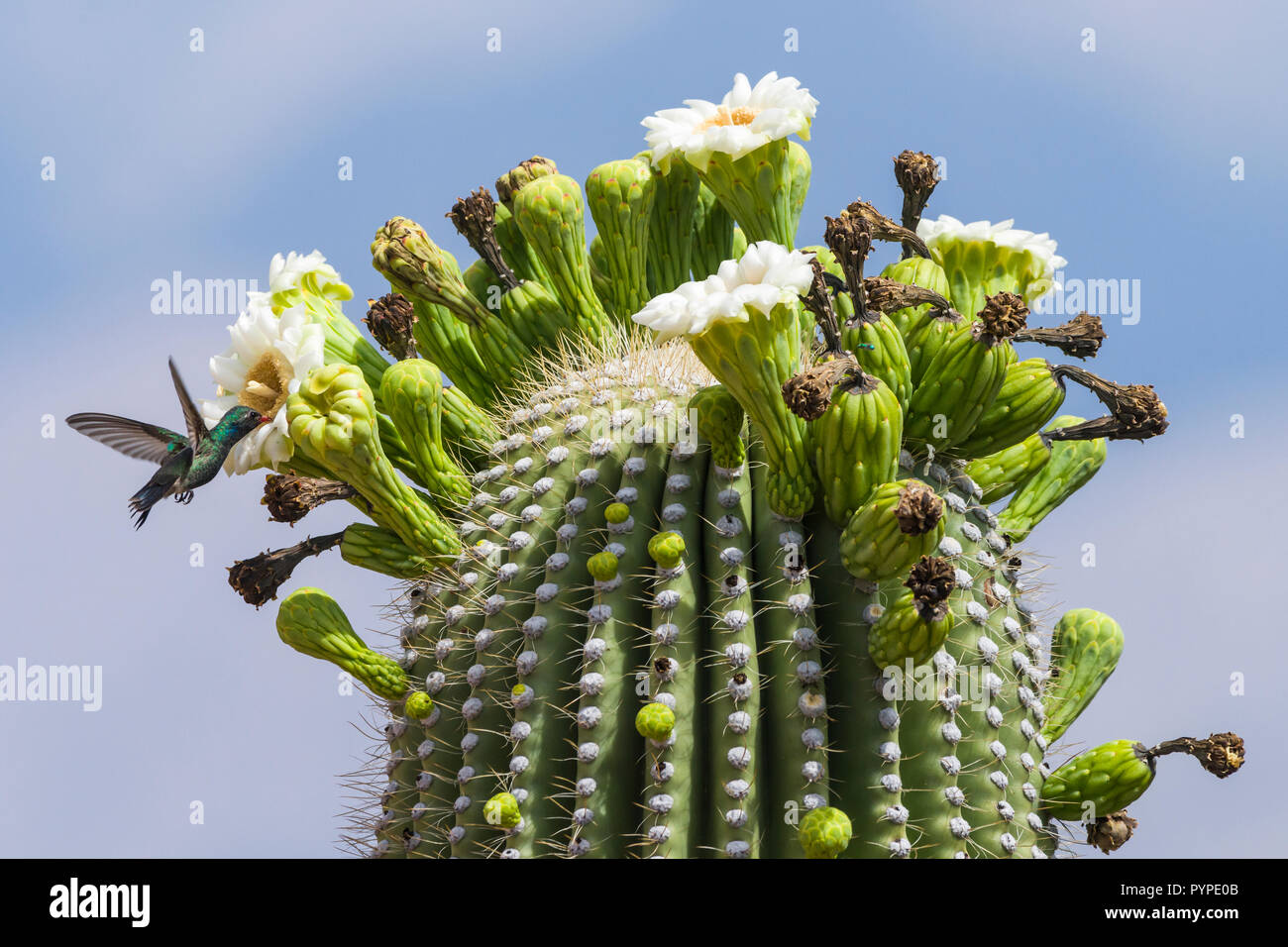 A Broad-billed Hummingbird (Cynanthus latirostris) feeding on nectar from the flowers of the Saguaro (Carnegiea gigantea). Tucson - Stock Image
