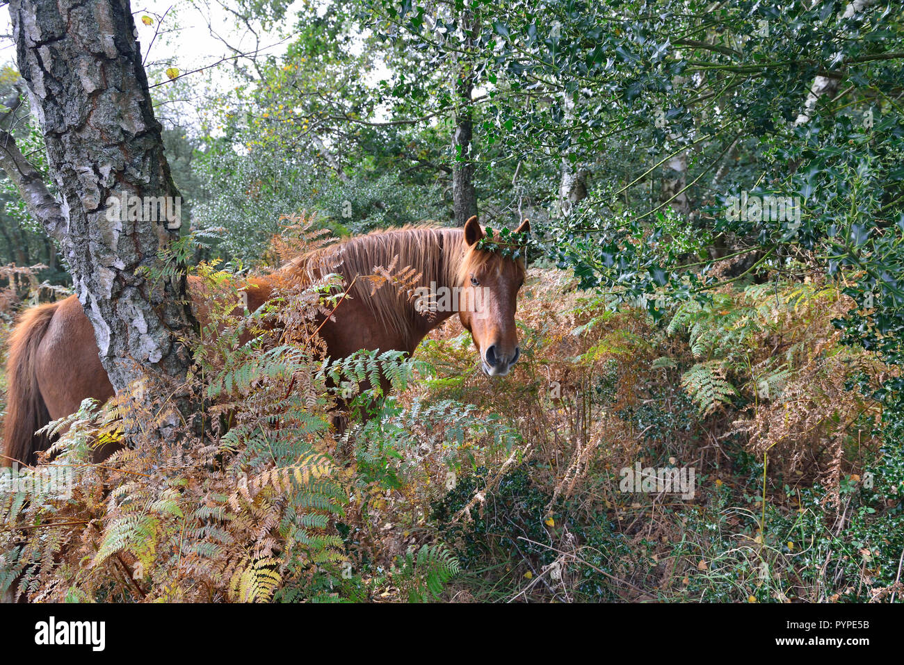 The New Forest pony is one of the recognised mountain and moorland or native pony breeds of the British Isles. Stock Photo
