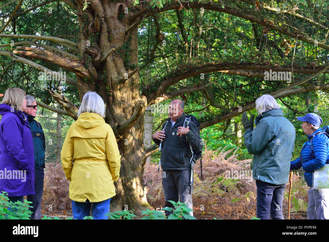 Official Guide on the New Forest National Park walking -festival explaining the ancient yew tree to  walkers on  route to Whitefield Moor - Stock Image