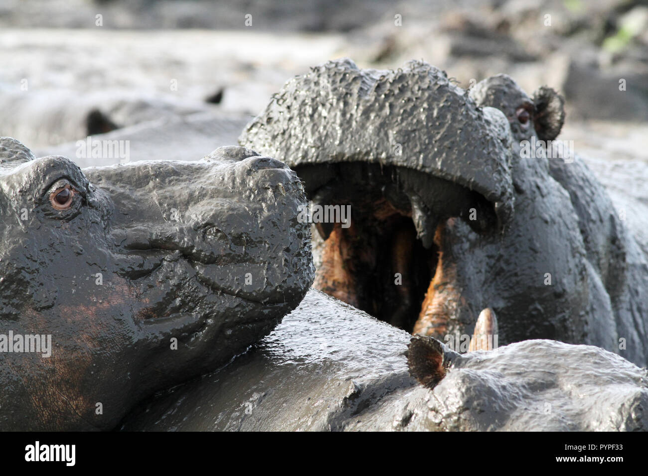 Hippoptamus spend most of the day in water or mud wallows to protect their sensitive skins from damage from the strong African sun - Stock Image