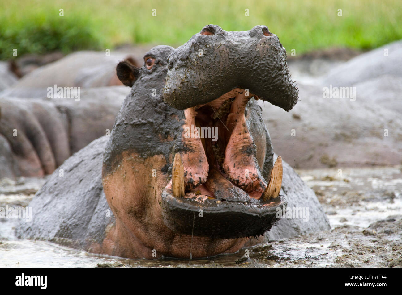 Hippo bulls are very territorial and are quick to threaten any possible intrusion into their domain making them one of africas most dangerous animals - Stock Image