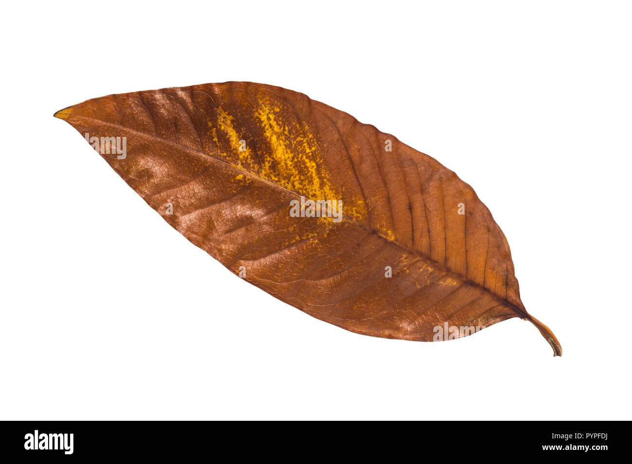 Autumn tree leaf on white background, vintage style Stock Photo