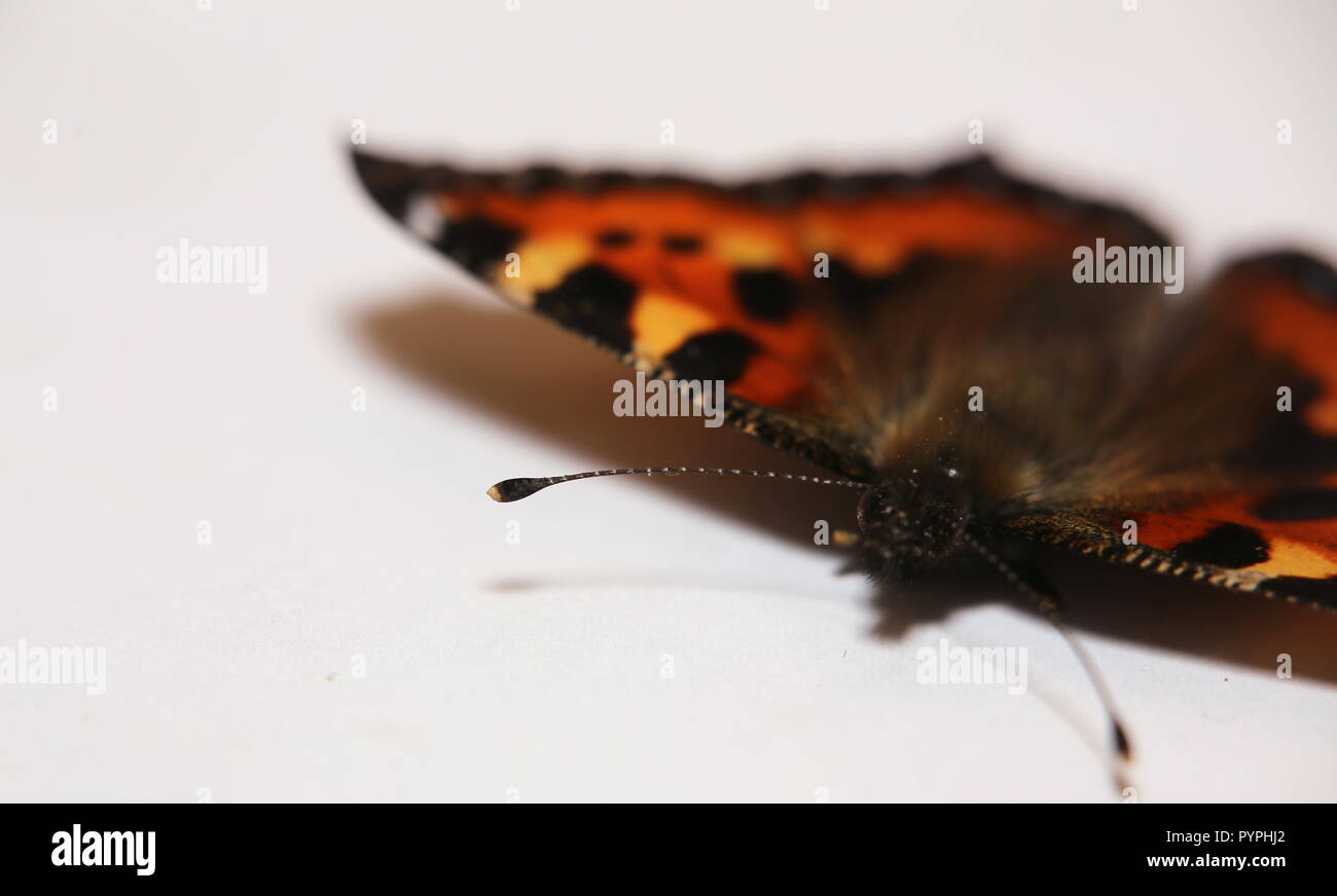 Close up of small turtoiseshell (Aglais urticae) with antenna in focus. - Stock Image