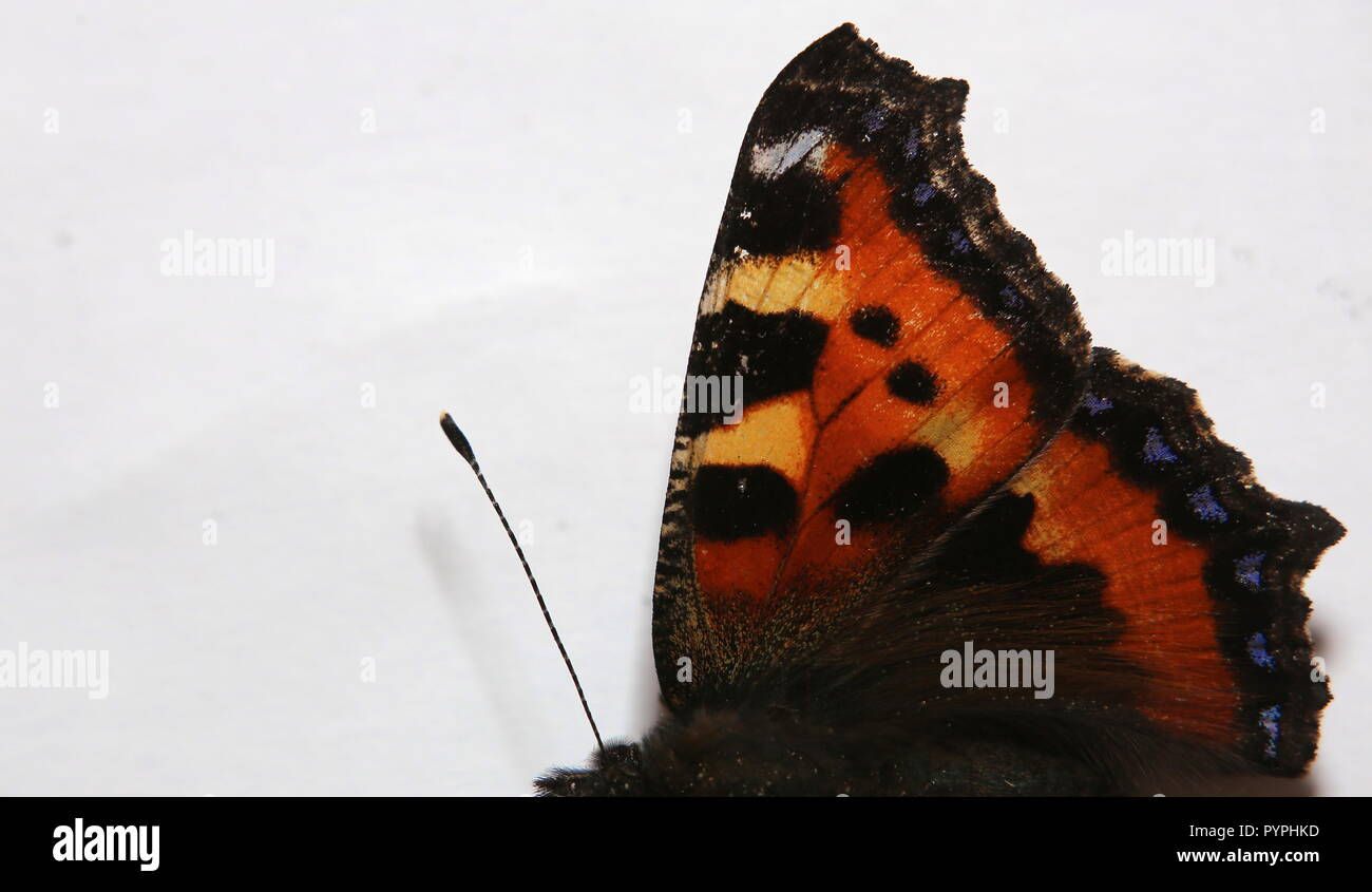 Right body side of small turtoiseshell (Aglais urticae). - Stock Image