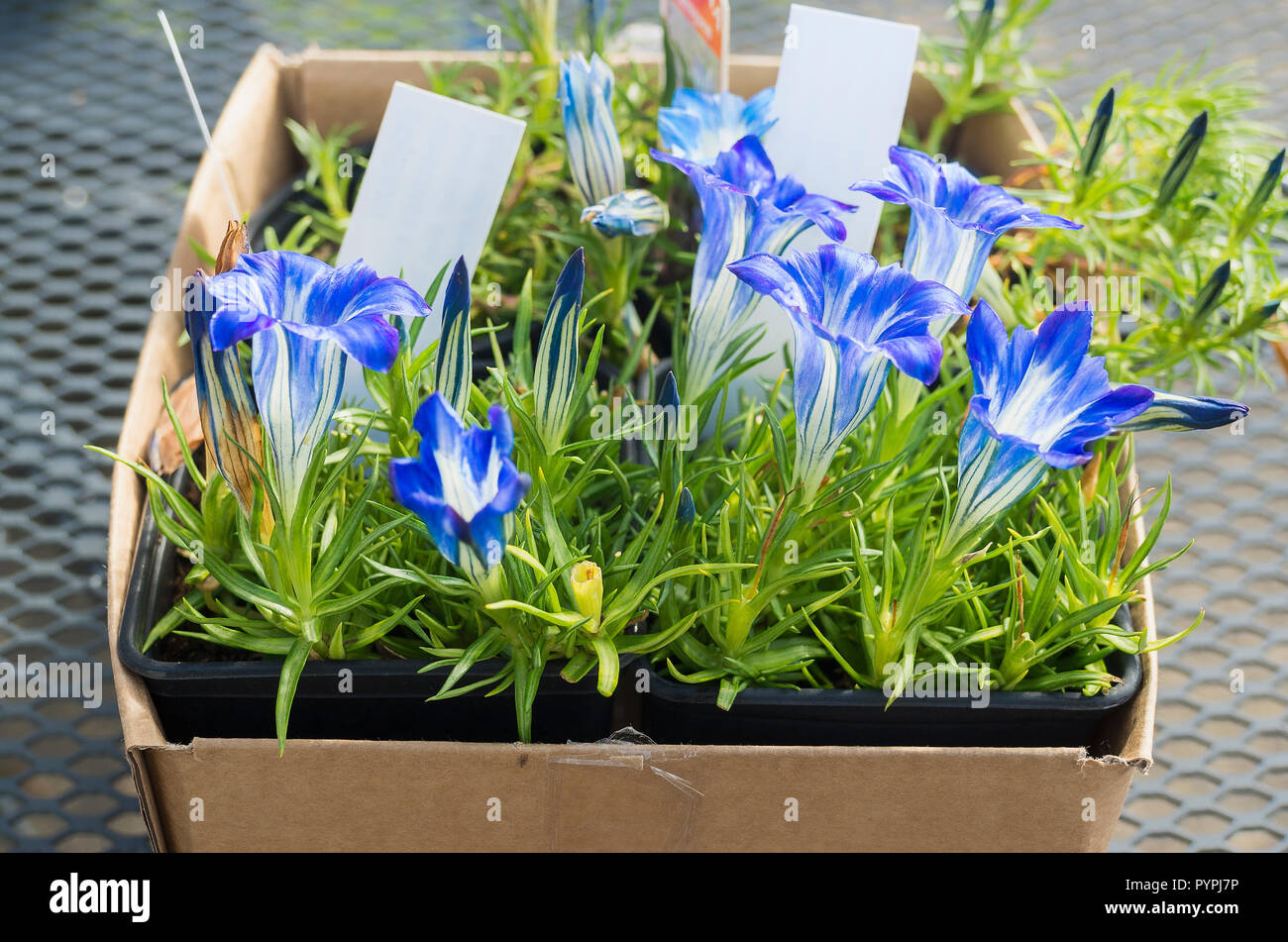 A box of newly-bought Gentian plants ready for planting into an English garden in UK - Stock Image