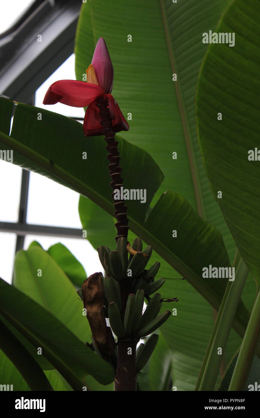 Banana Tree Flower High Resolution Stock Photography And Images Alamy