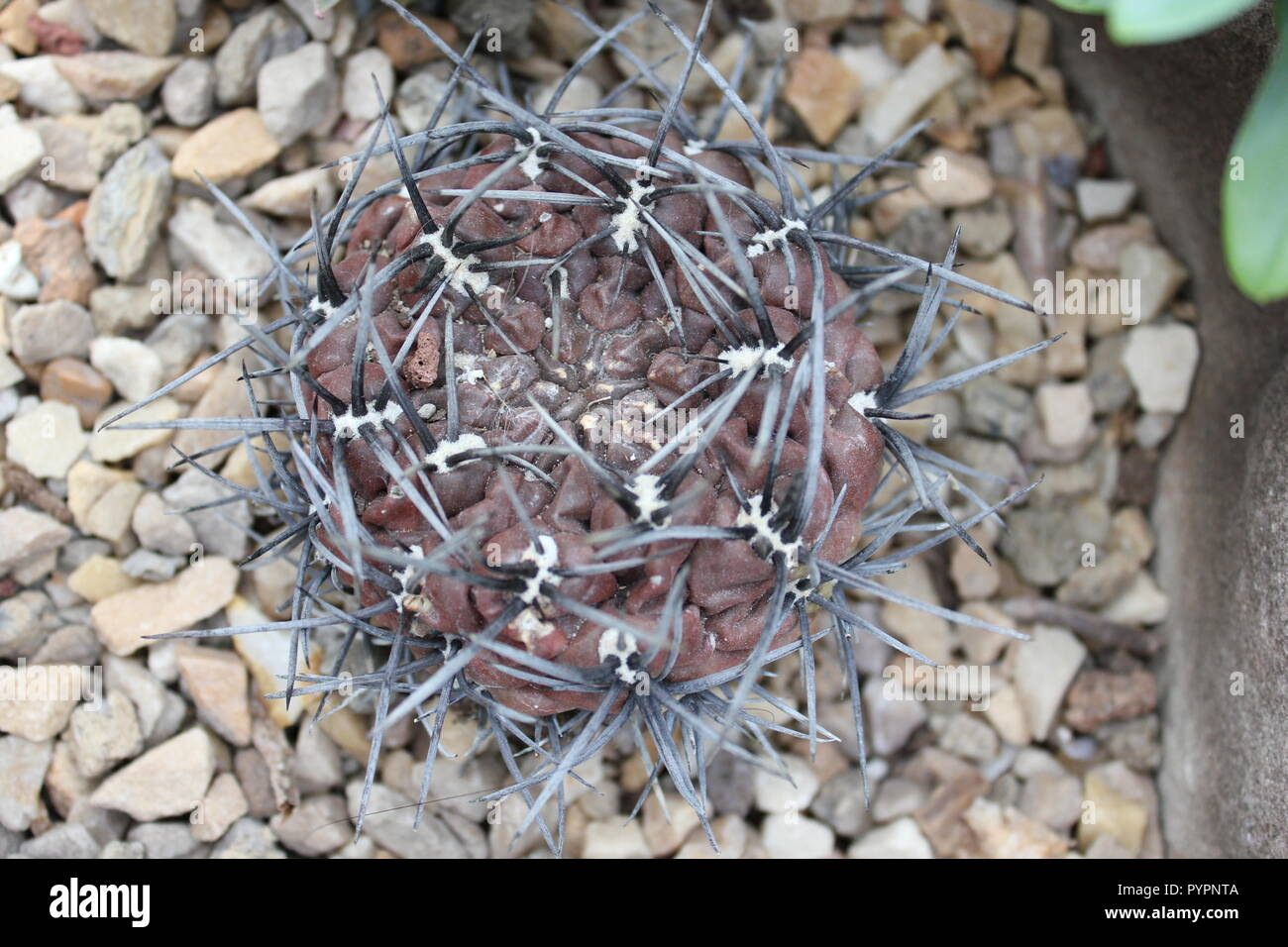 Desert plant red cactus with gray spines at the Garfield Park Conservatory in Chicago, Illinois, USA. - Stock Image