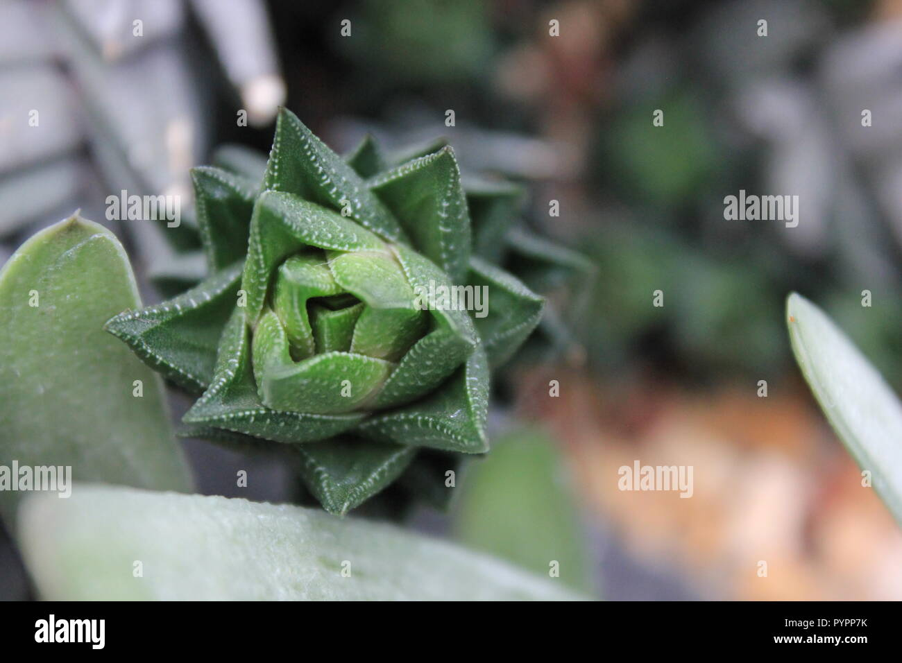 Speckled succulent haworthia longiana desert plant at the Garfield Park Conservatory in Chicago, Illinois, USA. - Stock Image