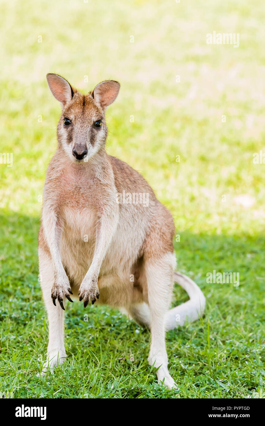 A young sub-adult female Agile Wallaby stares intently at the camera to ascertain the threat level before being satisfied and resuming her grazing. - Stock Image