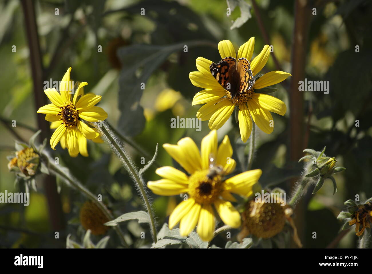 Butterfly feeding on nectar from wild sunflowers. - Stock Image