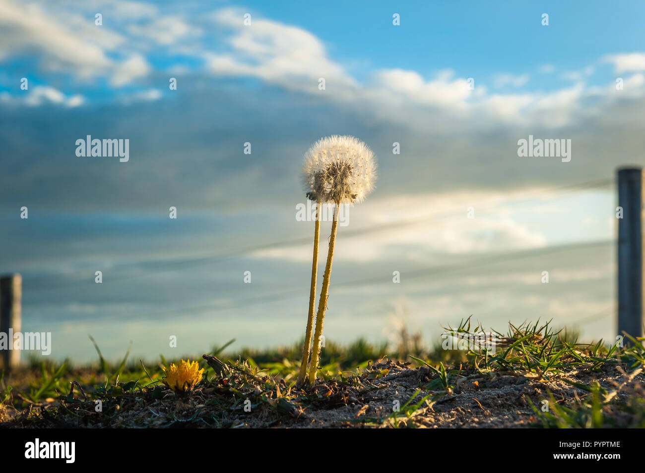 A beach sand dune with the main subject a Dandelion and daisy make an odd couple among the dune grass at Brighton Beach overlooking the Southern Ocean - Stock Image