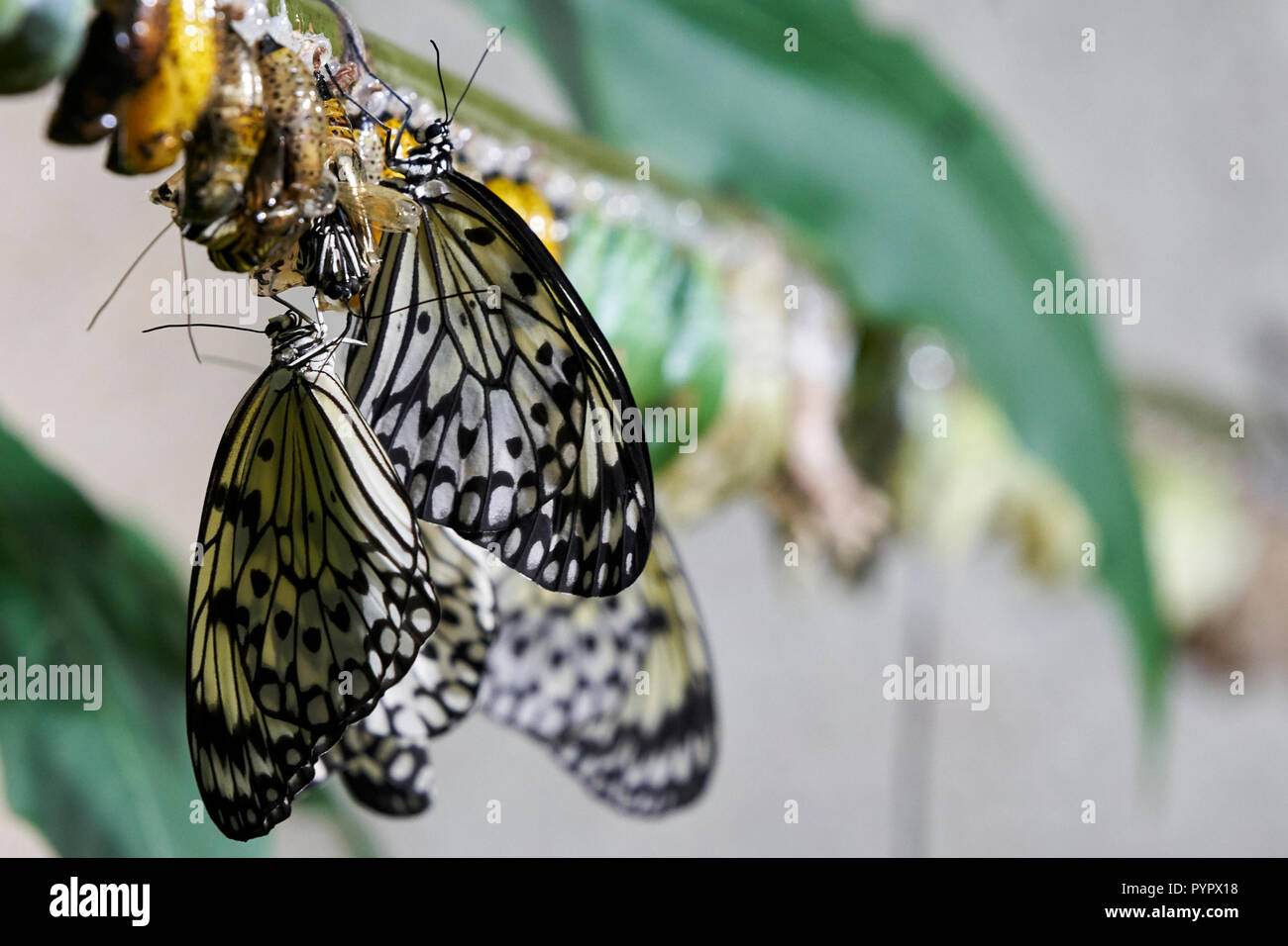 Metamorphosis of a Butterfly - Stock Image