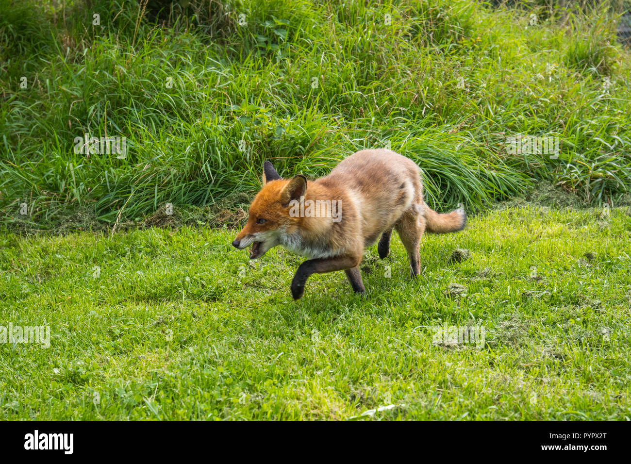 Red Fox on grass - Stock Image