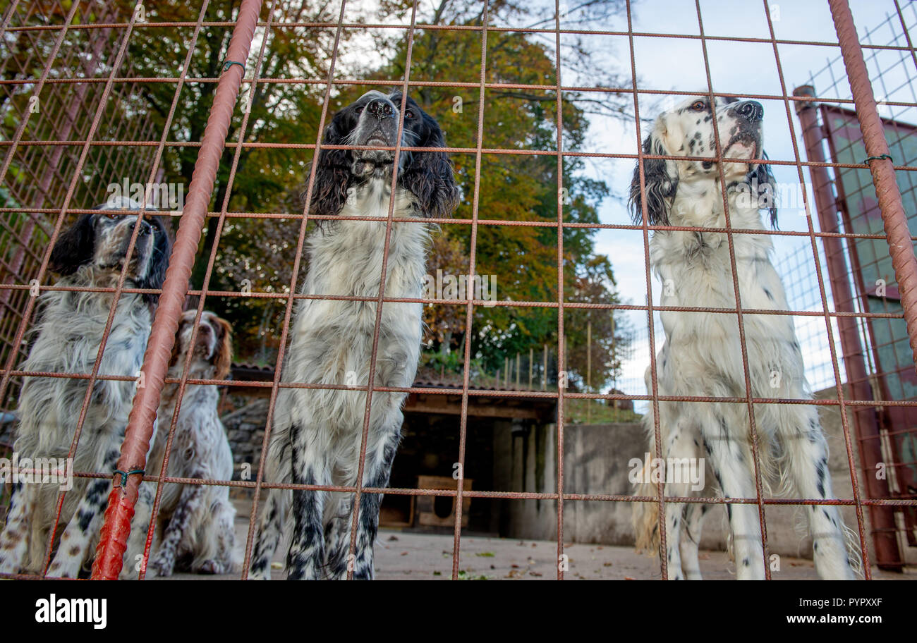Hunting dog in a cage - Stock Image