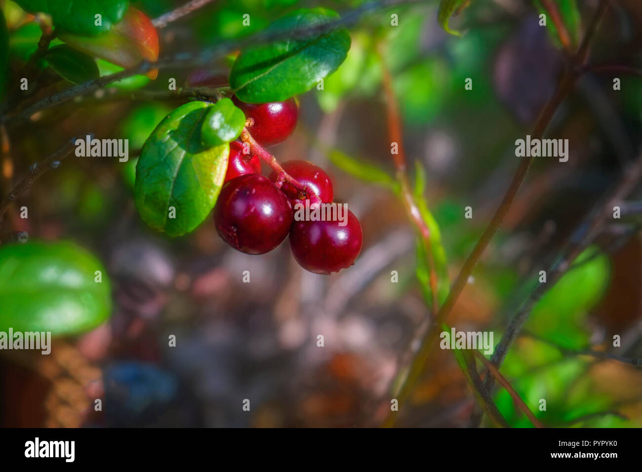 Ripe lingonberries close-up in the forest in late summer natural background - Stock Image