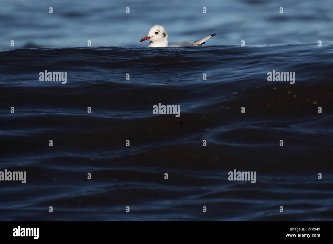 Black-headed gull dodging waves - Stock Image