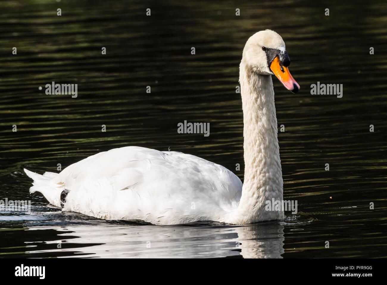 White swan on the lake at The Vyne, Hampshire, UK - Stock Image