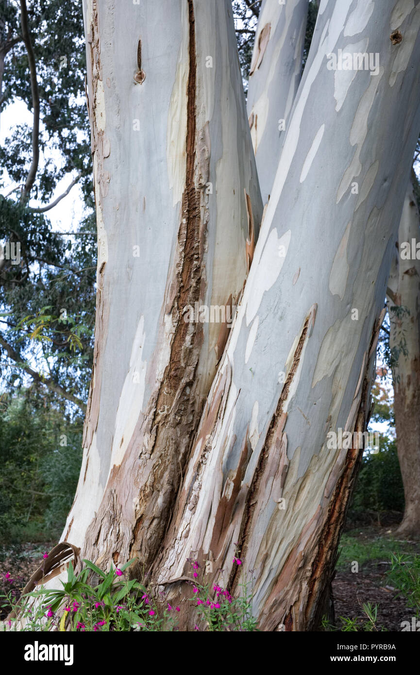 Eucalyptus tree bark. - Stock Image