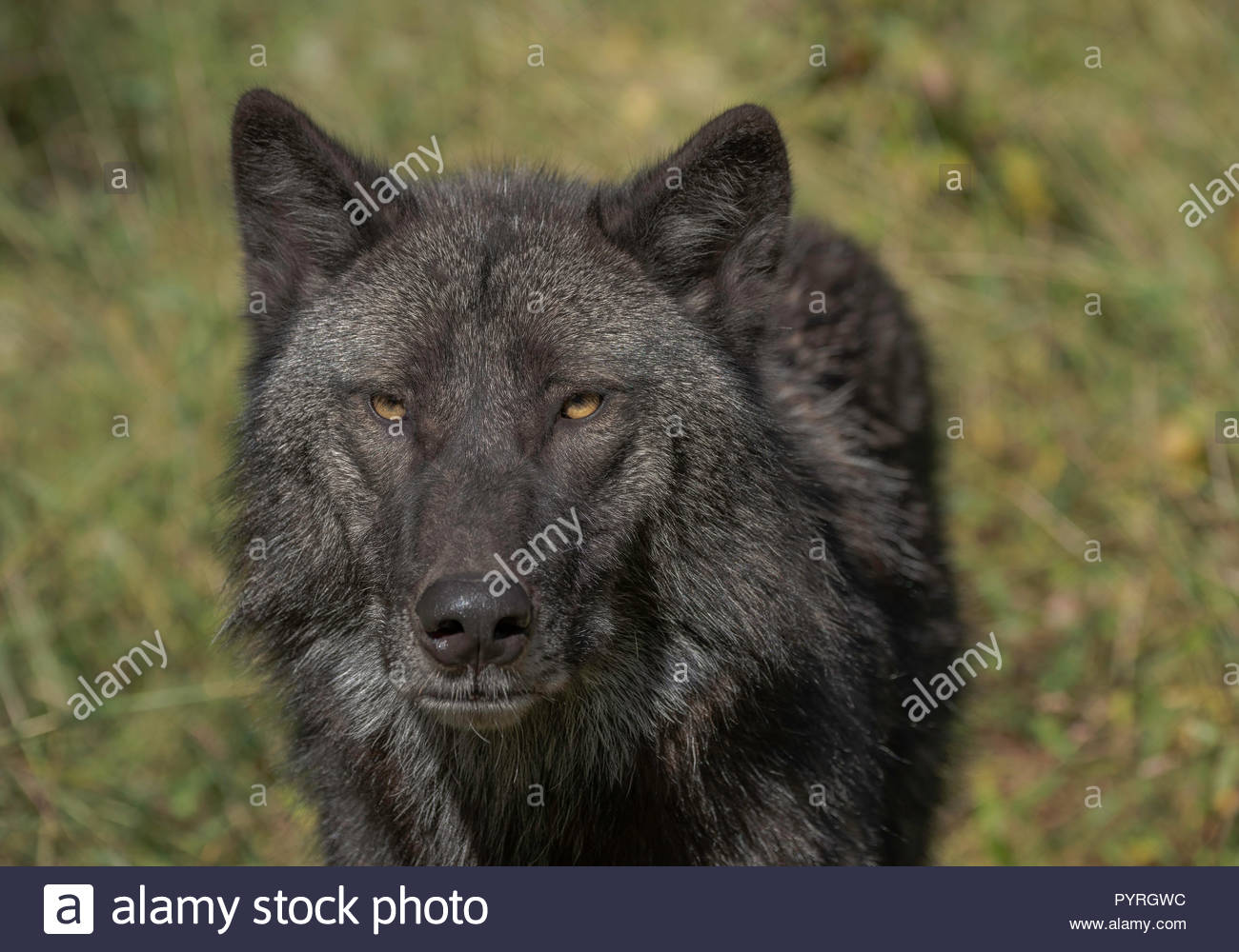 Timber Wolf (also known as a Grey Wolf or Gray Wolf) with black and silver markings and gold eyes looking directly at the camera - Stock Image