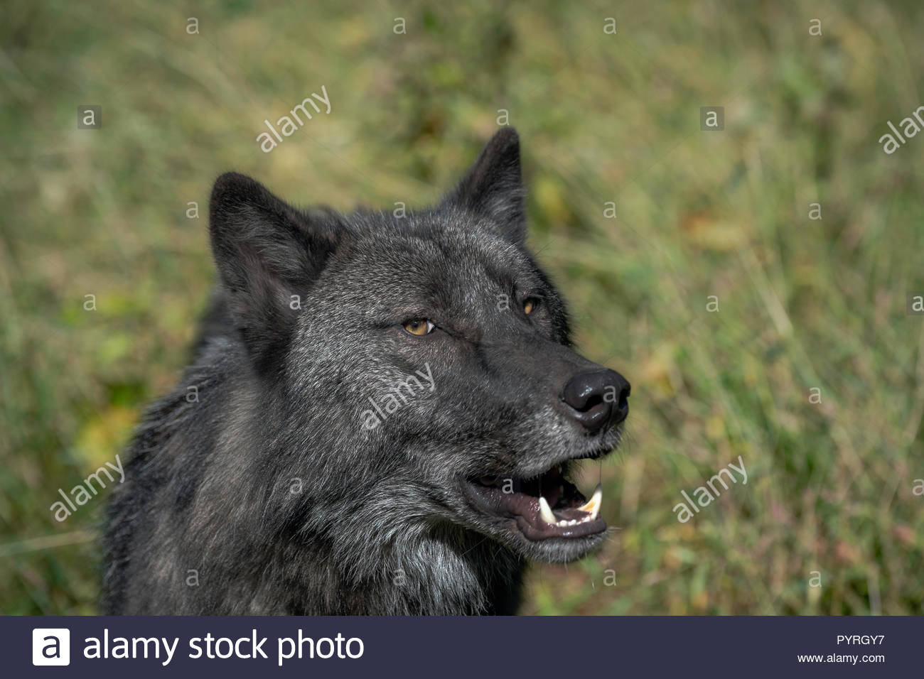 Timber Wolf (also known as a Grey Wolf or Gray Wolf) with black and silver markings and gold eyes looking off to the side with its mouth open showing - Stock Image
