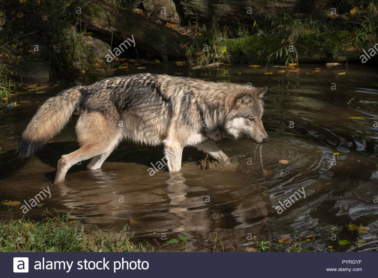 Timber Wolf (also known as a Gray Wolf or Grey Wolf) with water dripping from its muzzle, walking in the water, casting a reflection Stock Photo