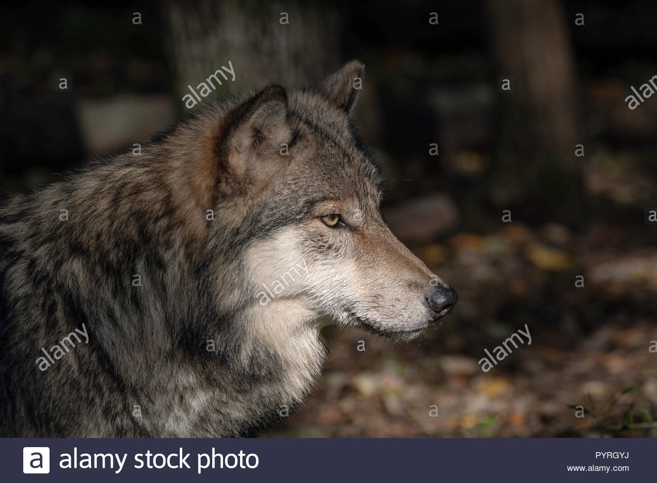 Timber Wolf (also known as a Gray Wolf or Grey Wolf) Portrait with Fall Color in the Background - Stock Image