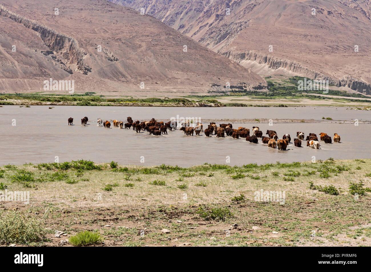 Cows cross Panj River from Tajikistan to Afghanistan, Wakhan Valley, Tajikistan - Stock Image