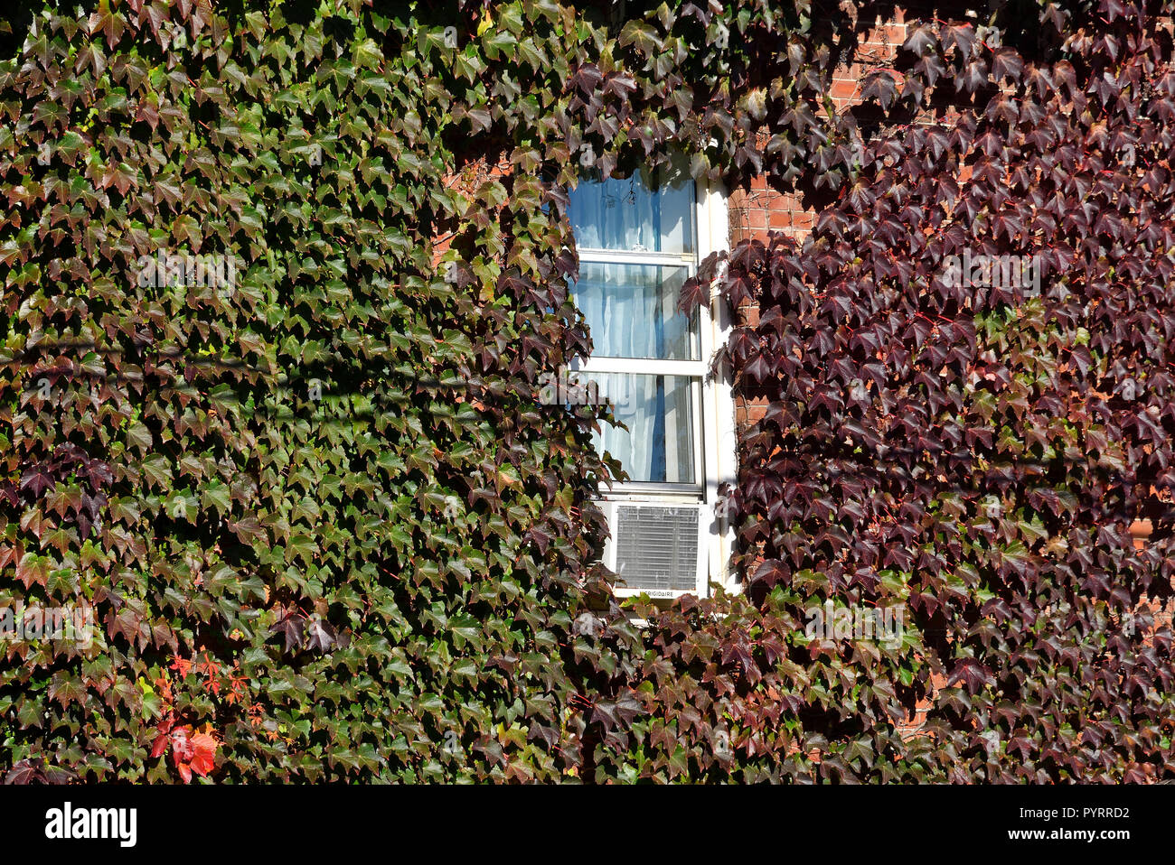 A landscape image of a red brick house with vines covering the exterior wall around a window on Queen Street in Sussex New Brunswick Canada. Stock Photo