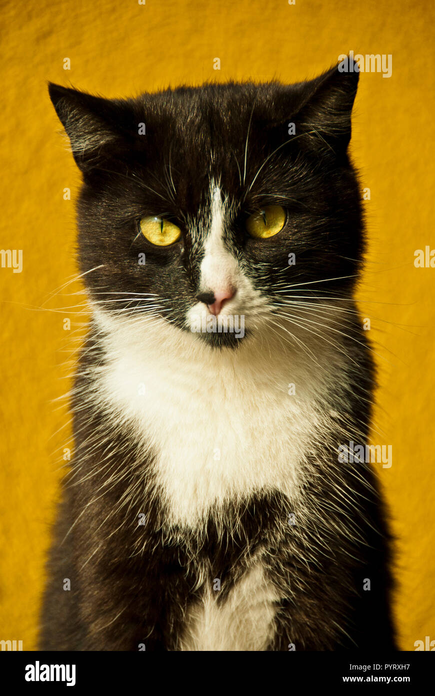 portrait of a domestic Bicolor or Tuxedo cat outdoor Stock Photo