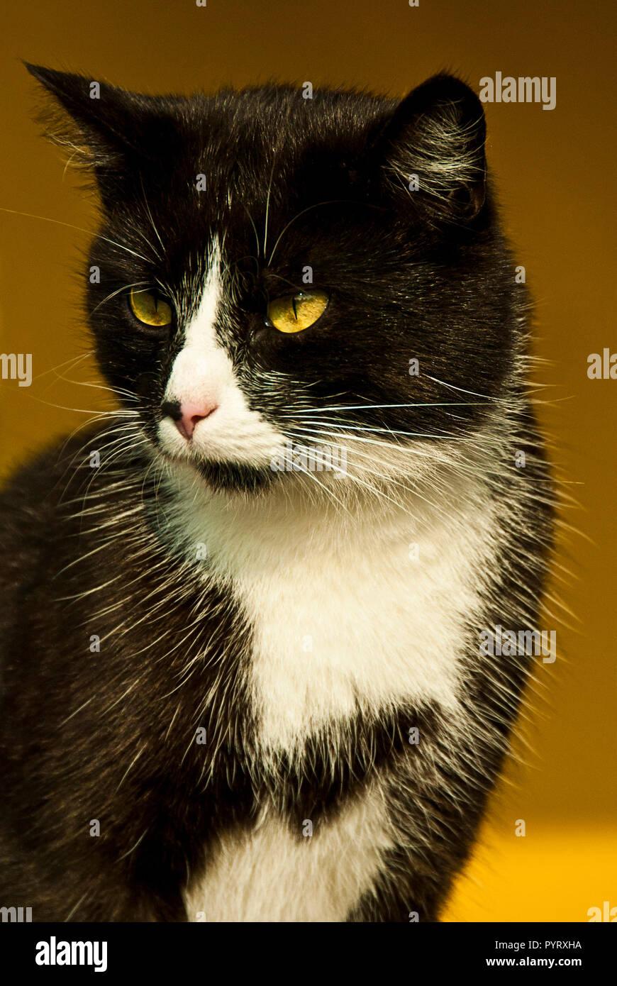 portrait of a domestic Bicolor or Tuxedo cat outdoor - Stock Image