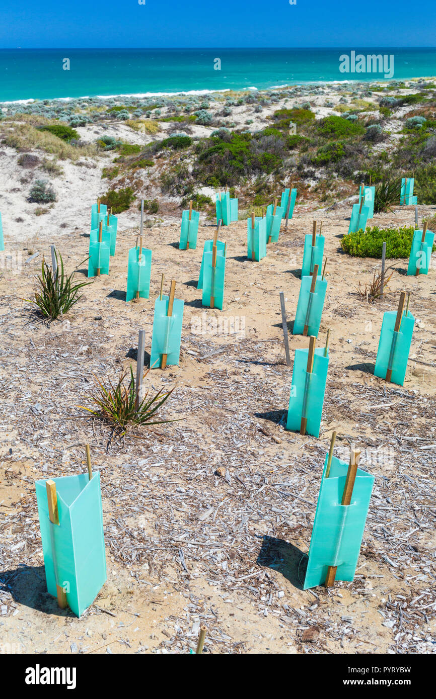 New native plants with seedling protectors planted in a sand Dune Conservation Area at Trigg Beach, Perth, Western Australia - Stock Image