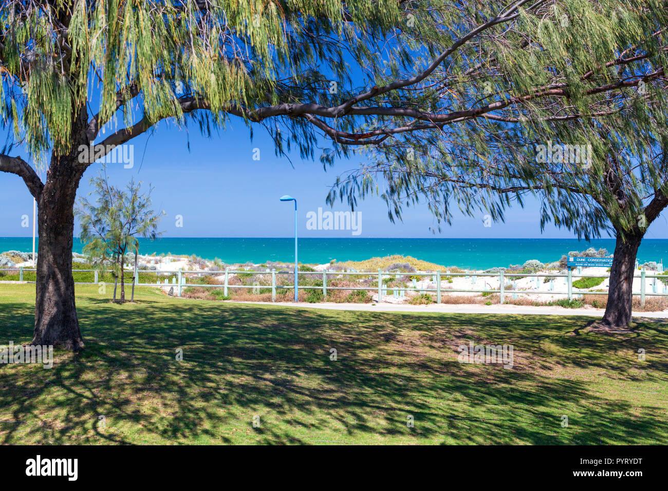 Swamp Sheoak (Casuarina obesa) providing shade in parkland beside Trigg Beach. Perth, Western Australia - Stock Image