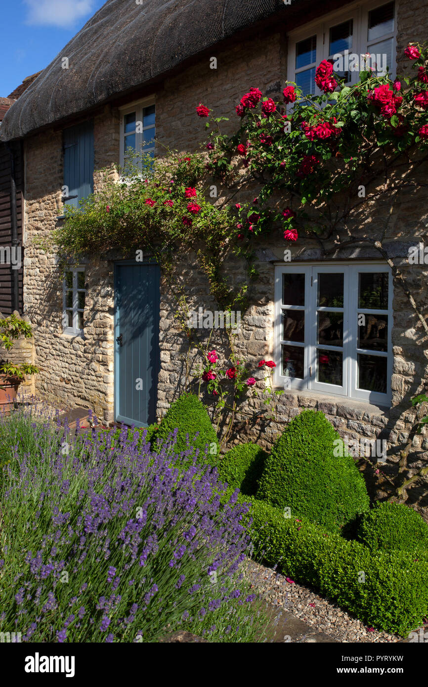 English stone thatch cottage front Garden with roses around doorway,lavender and box hedging ,England,Europe - Stock Image