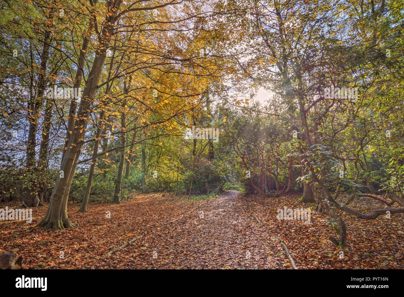 A path though the woods in autumn.  Orange and brown leaves carpet the ground and sunlight filters through the tree-tops. Stock Photo