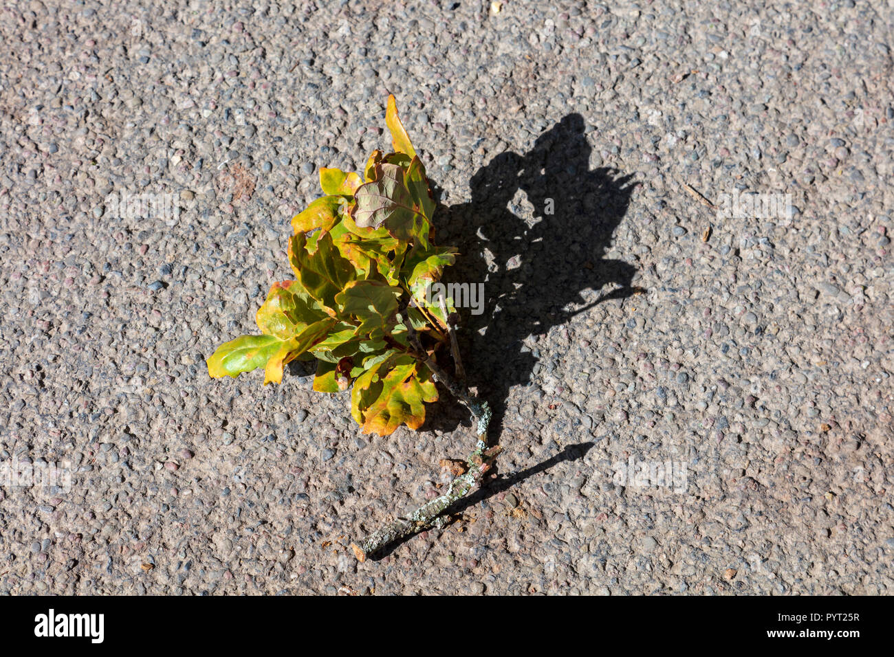 A fallen small Oak Branch lies on a tarmac road and casts a strong shadow in the Autumn low light, The leaves are beginning to turn - Stock Image