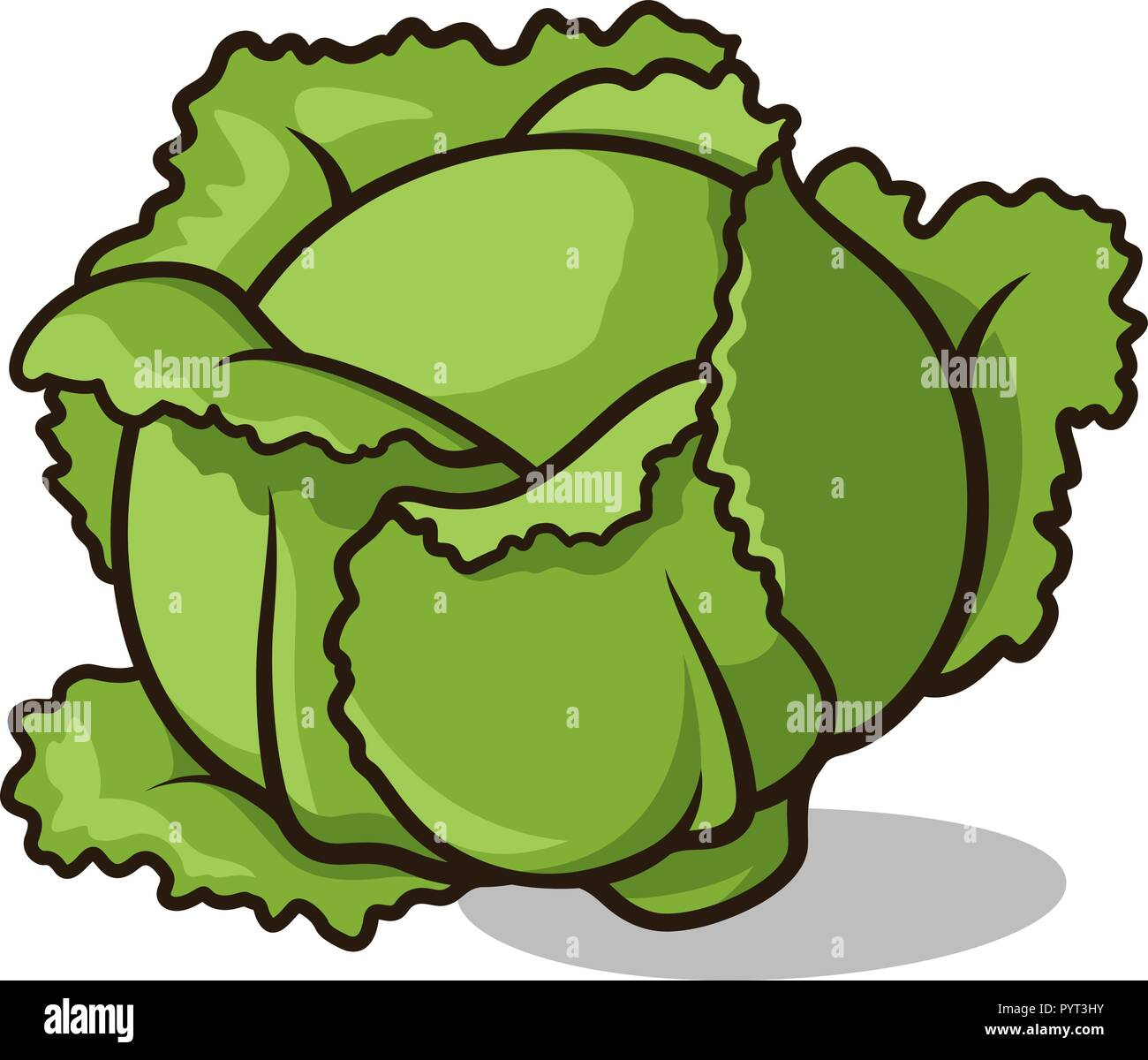 vector illustration of a head of cabbage isolated on white stock vector  image & art - alamy  alamy