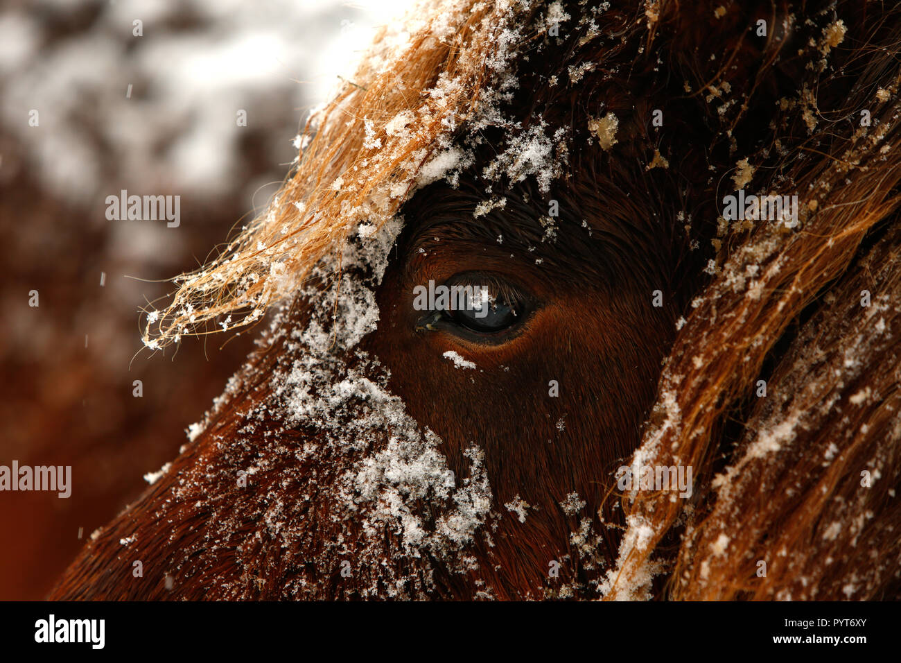 Detailed close up portrait of a snowy brown Horse, winter - Stock Image