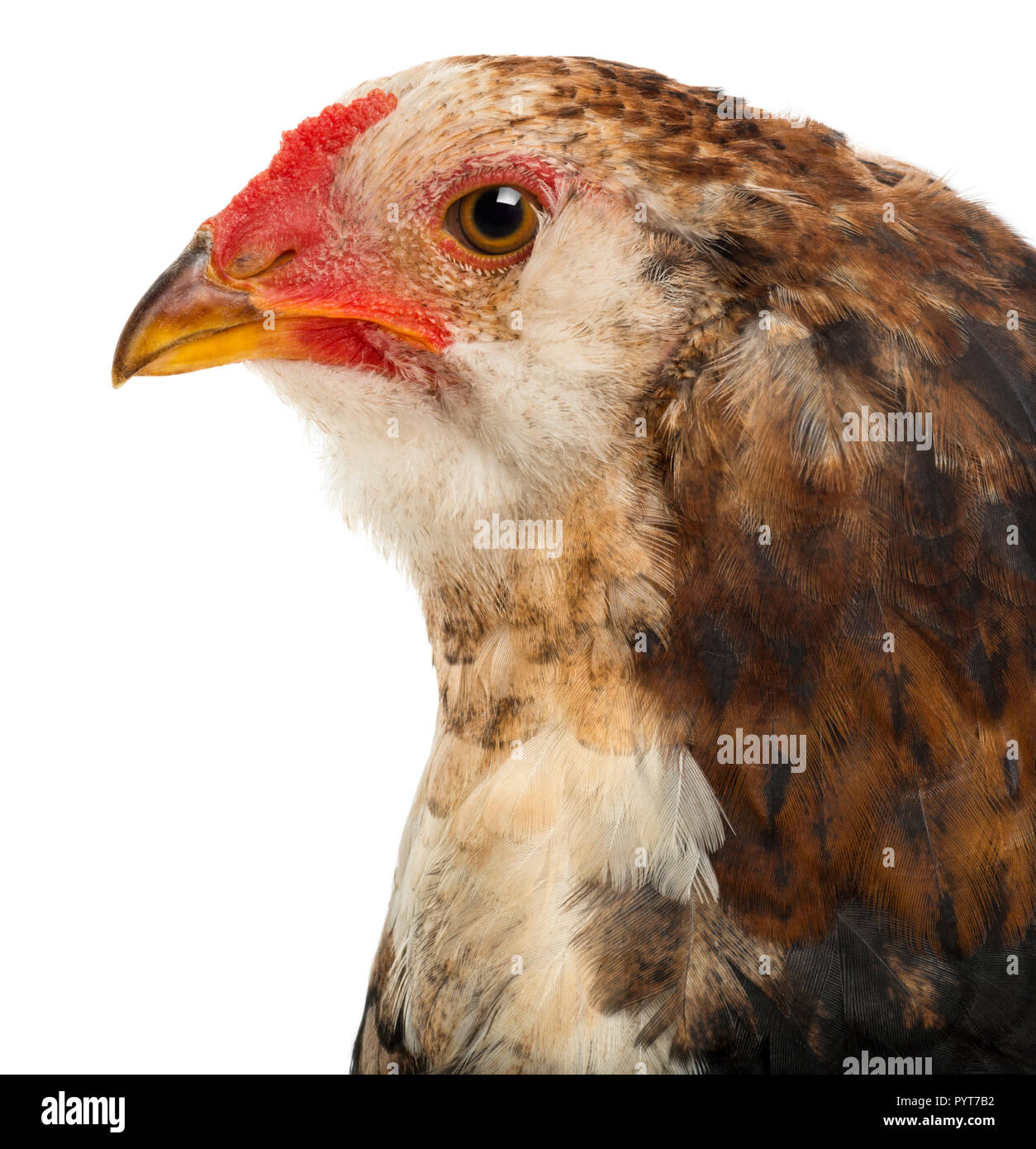 Close-up of an Araucana, 5 months old, against white background - Stock Image