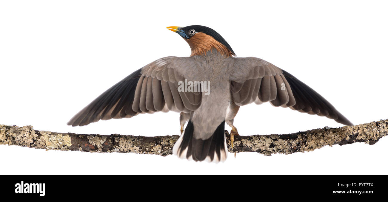 Brahminy Myna fly away from a branch - Sturnia pagodarum - isolated on white - Stock Image