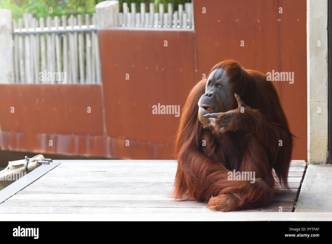 Orangutan sitting on platform, looking to the right, thinking. - Stock Image