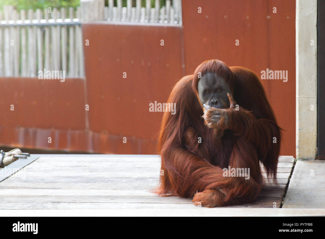 Orangutan sitting on platform, looking at the camera, thinking. - Stock Image