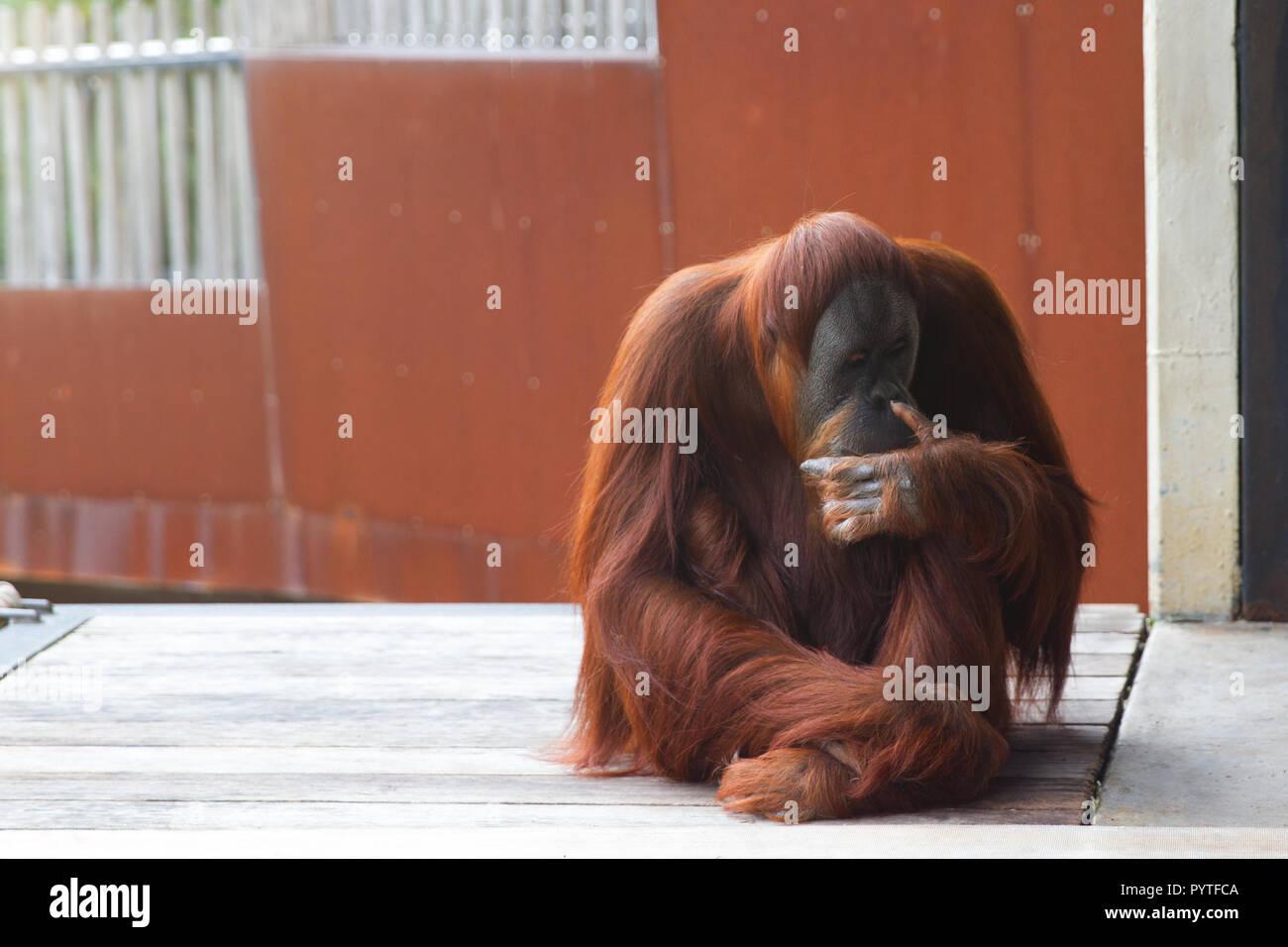 Orangutan sitting on platform, looking to the left, thinking. - Stock Image