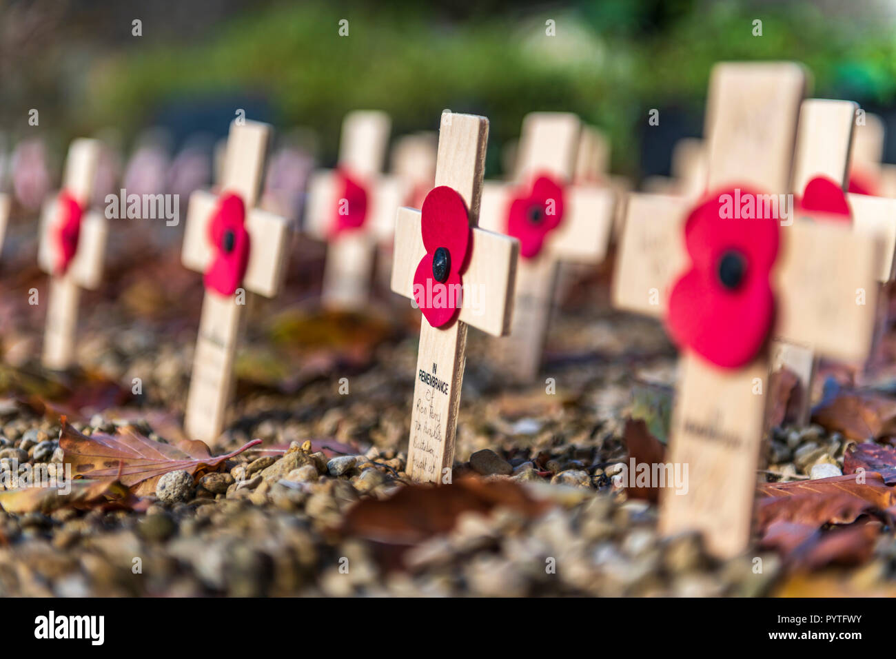 A small plot in the churchyard at Cirencester Parish Church is lined with Remembrance Crosses ahead of Armistice Day. - Stock Image
