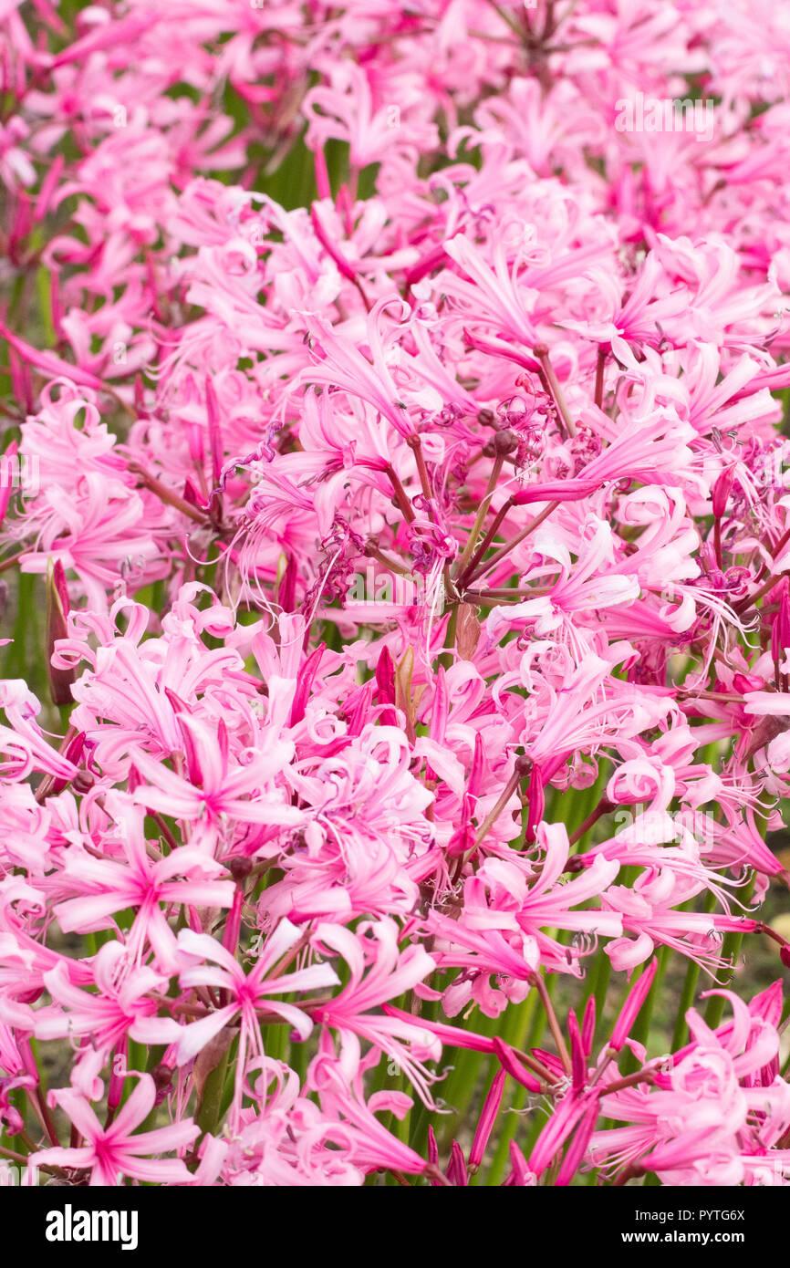 nerine bodenii Guernsey Lily - UK - Stock Image