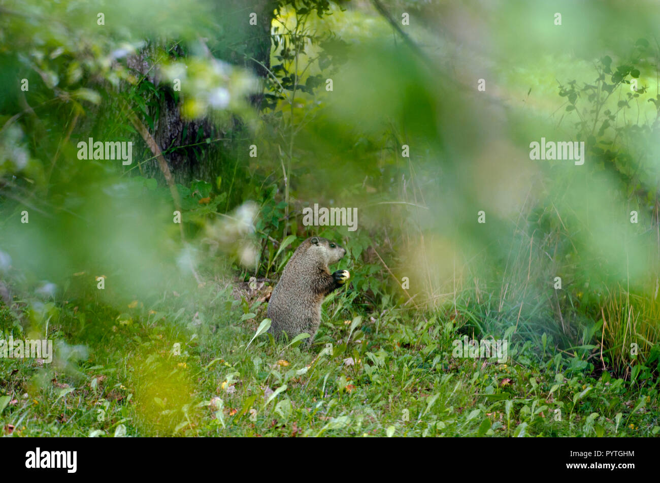 Groundhog or woodchuck eating an apple - Stock Image